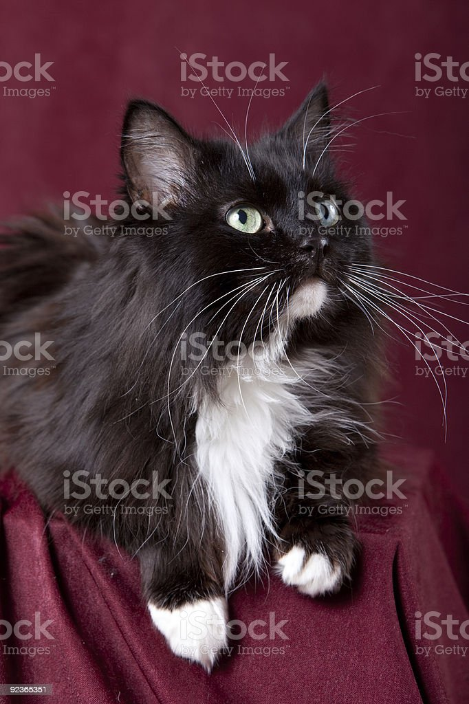 Beautiful domestic cat on a red background royalty-free stock photo