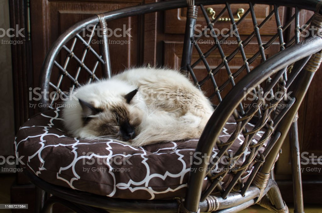 Beautiful domestic cat in a brown pleated armchair