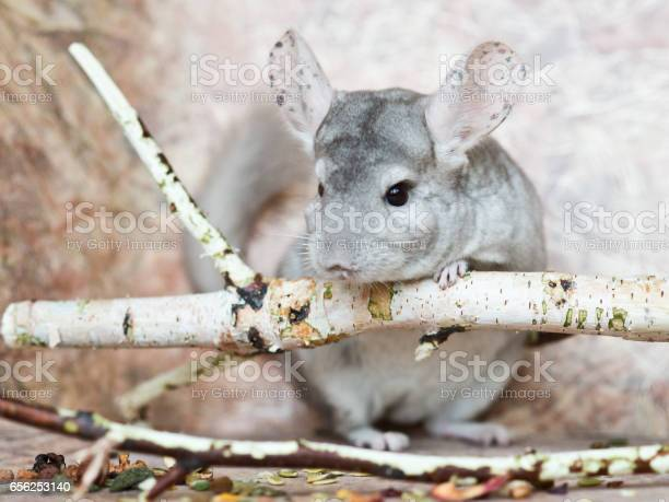 Beautiful domestic chinchilla sits leaning on branch picture id656253140?b=1&k=6&m=656253140&s=612x612&h=2dhw1sqci2g7npmpyphzcs 48n khpn0p5tuijf1n0a=