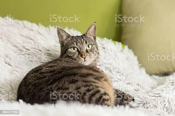 Beautiful domestic grey cat picture id594472930?b=1&k=6&m=594472930&s=612x612&h=vyb7tsmn7oyfn46m0fh11wn7liviot tnsaogazjekg=