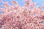 A beautiful double cherry tree