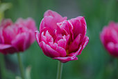 Beautiful double soft pink tulip Drumline