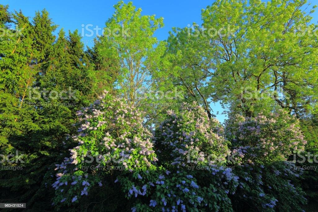 Belle bas vue de lilas buissons et d'arbres verts sur fond de ciel bleu, origines de la magnifique nature. - Photo de Arbre libre de droits