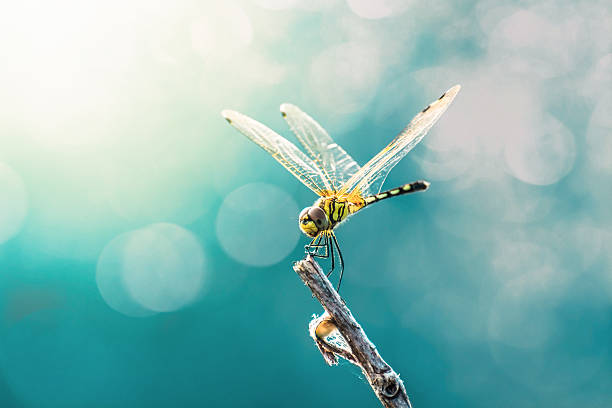 beautiful dragonfly and blur bokeh background - 蜻蜓 個照片及圖片檔