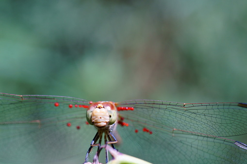 Beautiful dragonfly on a green background. Insects in nature. Macrophotography. Amazing images in nature.