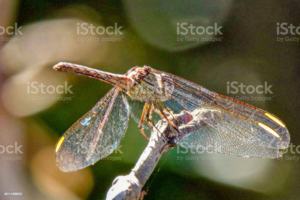 Beautiful Dragonfly stock photo