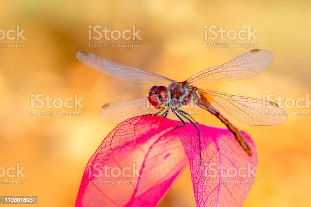 Beautiful dragonfly sitting on flower picture id1133618037?b=1&k=6&m=1133618037&s=612x612&h=qo7d jozeuc7xwzwol1ho584irtbq1nbf2mwlv ltxq=