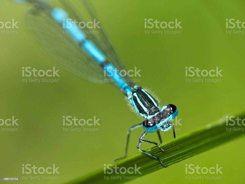 Beautiful dragonfly turkish damselfly blue up reed stock photo