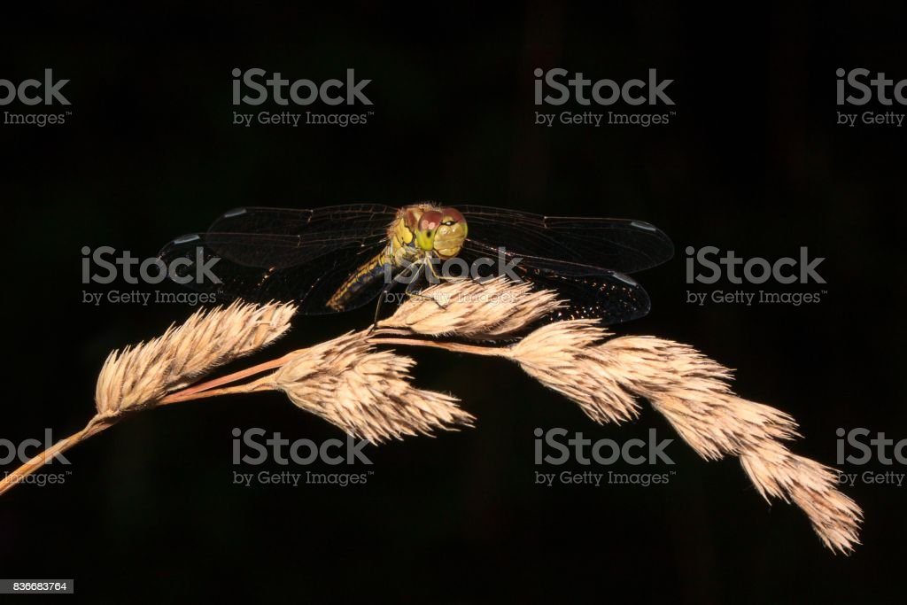 Beautiful dragonfly with transparent wings on a dark background. stock photo
