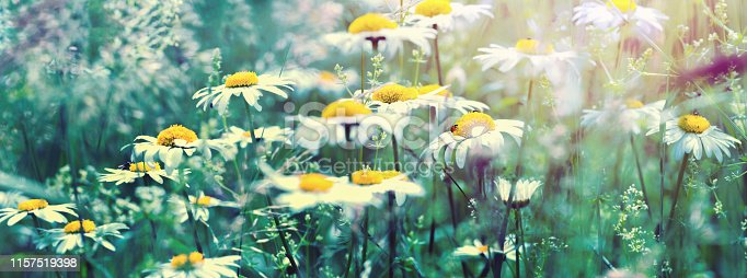 Beautiful dreamy daisy flowers, grass, ladybug close-up on wild field in sunset light panorama. Soft focus nature background. Copy space. Spring floral greeting card template. Delicate delightful romantic artistic toned image.