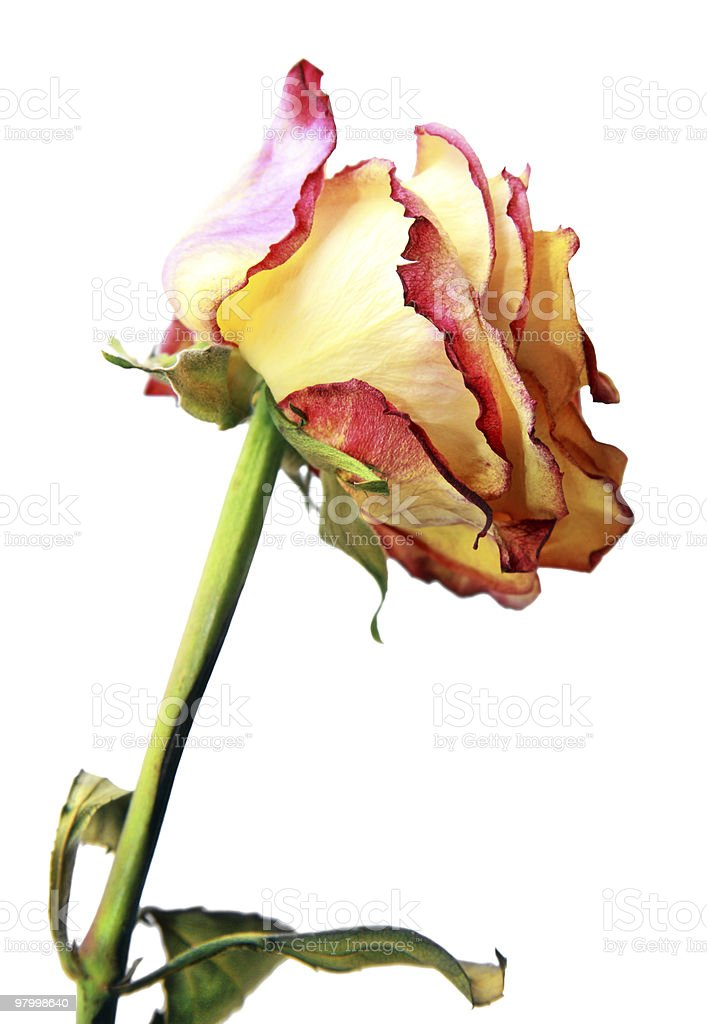 Beautiful dried rose royalty-free stock photo