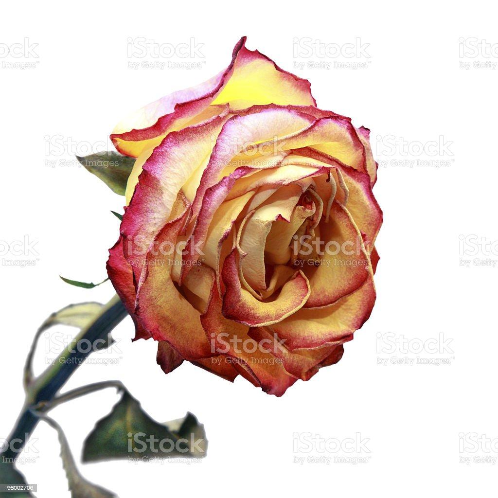 Beautiful dried rose royalty-free stock photo