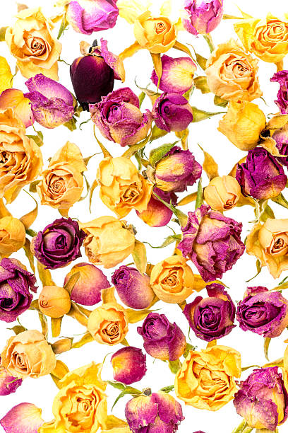 Beautiful dried yellow and pink roses like as background picture id538658192?b=1&k=6&m=538658192&s=612x612&w=0&h=zzlr5gkkxpsenxyrwaewbqbaidr0pzzbotbpropfx20=