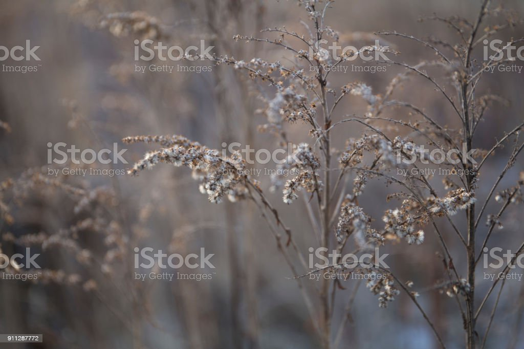 Beautiful dry stems of winter brown gray grass in january close-up stock photo