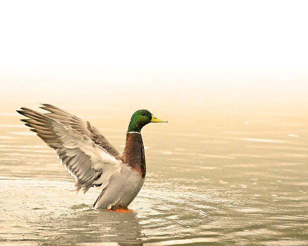 Beautiful Duck in a Pond stock photo