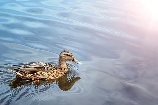 A beautiful duck is swimming in the pond. Beautiful natural background. Place for text.