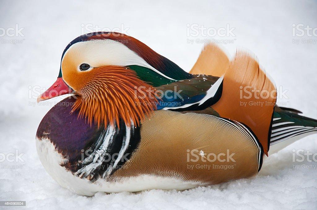 beautiful duck stock photo