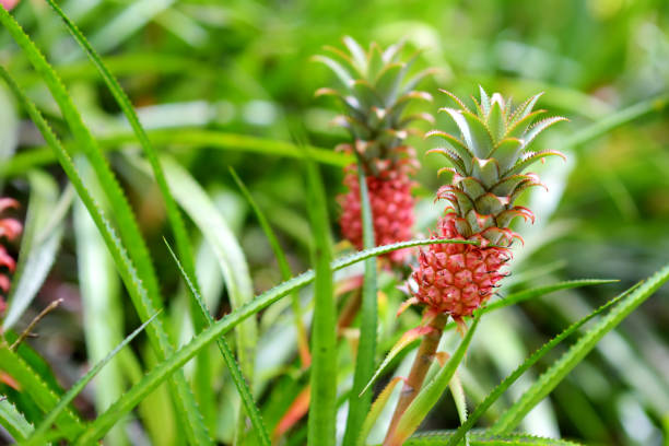 Beautiful dwarf pineapple in natural environment in Tropical Botanical Garden of the Big Island of Hawaii. Lush tropical vegetation of the islands of Hawaii stock photo