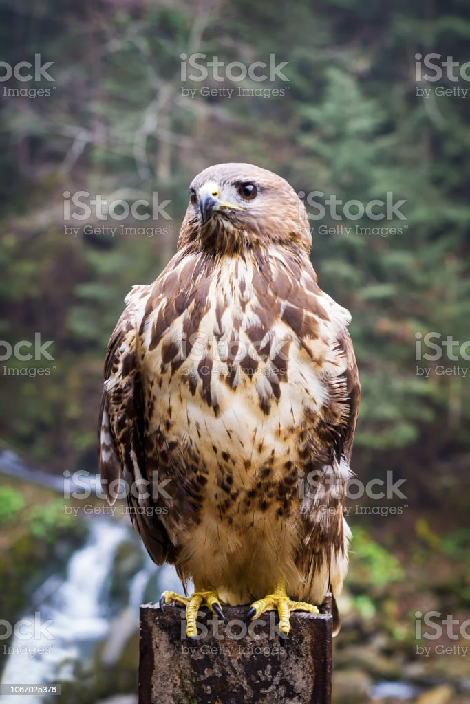Foto De águia Linda Sobre O Fundo De Montanhas E Florestas