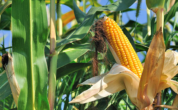 Beautiful ear of corn ripe stock photo