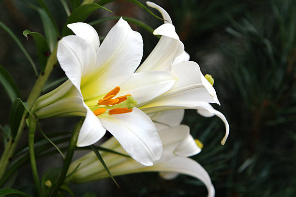 Beautiful easter lilies picture id182178057?b=1&k=6&m=182178057&s=612x612&w=0&h=gidmfpdjdetip 1zacsas6sl0lgbsty9syl5im6n0gg=