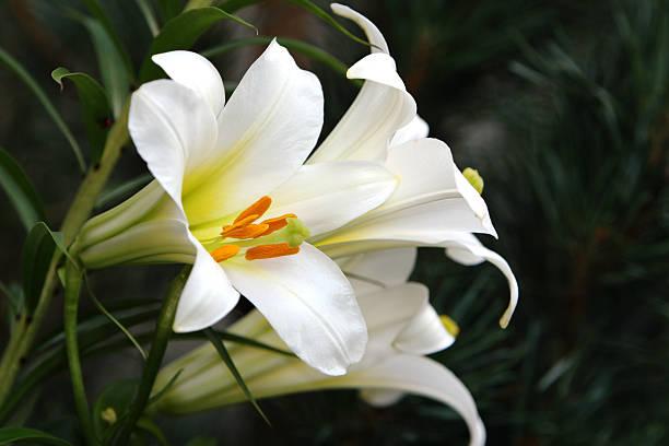 아름다운 부활제 백합 - 꽃밥 뉴스 사진 이미지