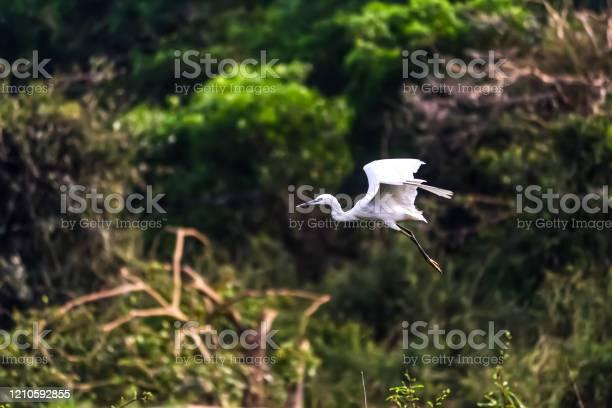 Photo of Beautiful Eastern great egret bird in gudavi bird sanctuary