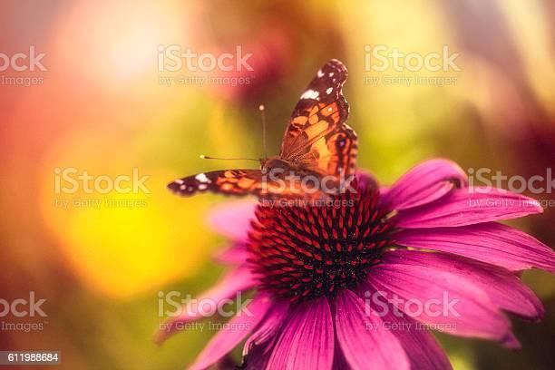 Beautiful echinacea coneflower with butterfly and bokeh picture id611988684?b=1&k=6&m=611988684&s=612x612&h=rv6mnj0896woosvuuir7bno2kbuzdsw1gcrjkqvgh6u=