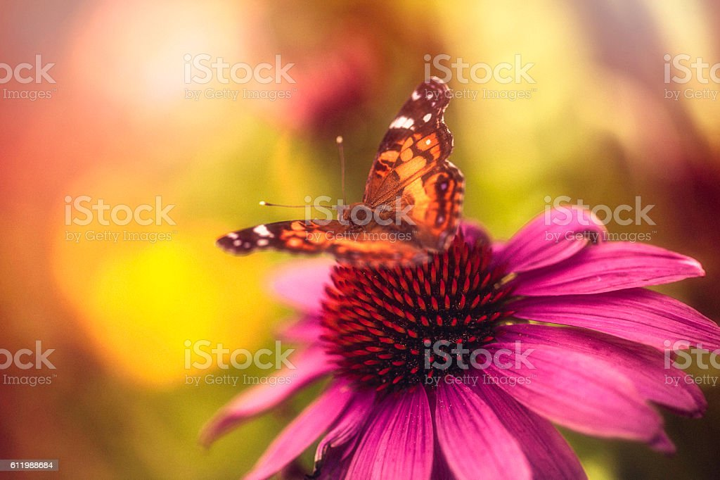 Beautiful echinacea coneflower with butterfly and bokeh stock photo