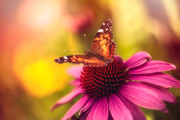 Beautiful echinacea coneflower with butterfly and bokeh Beautiful echinacea coneflower with butterfly and bokeh perennial stock pictures, royalty-free photos & images