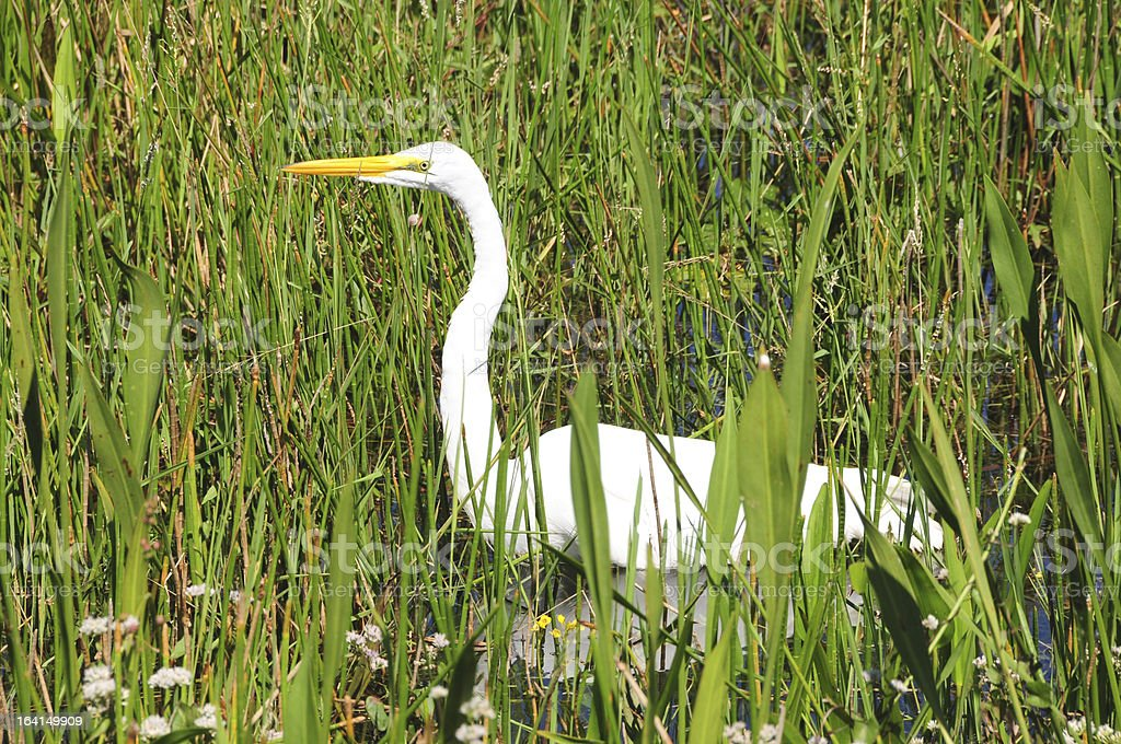 Beautiful Egret in Florida stock photo