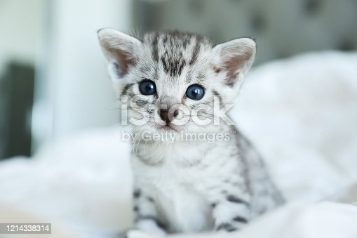 Beautiful Egyptian Mau kitten with blue eyes on a white blanket