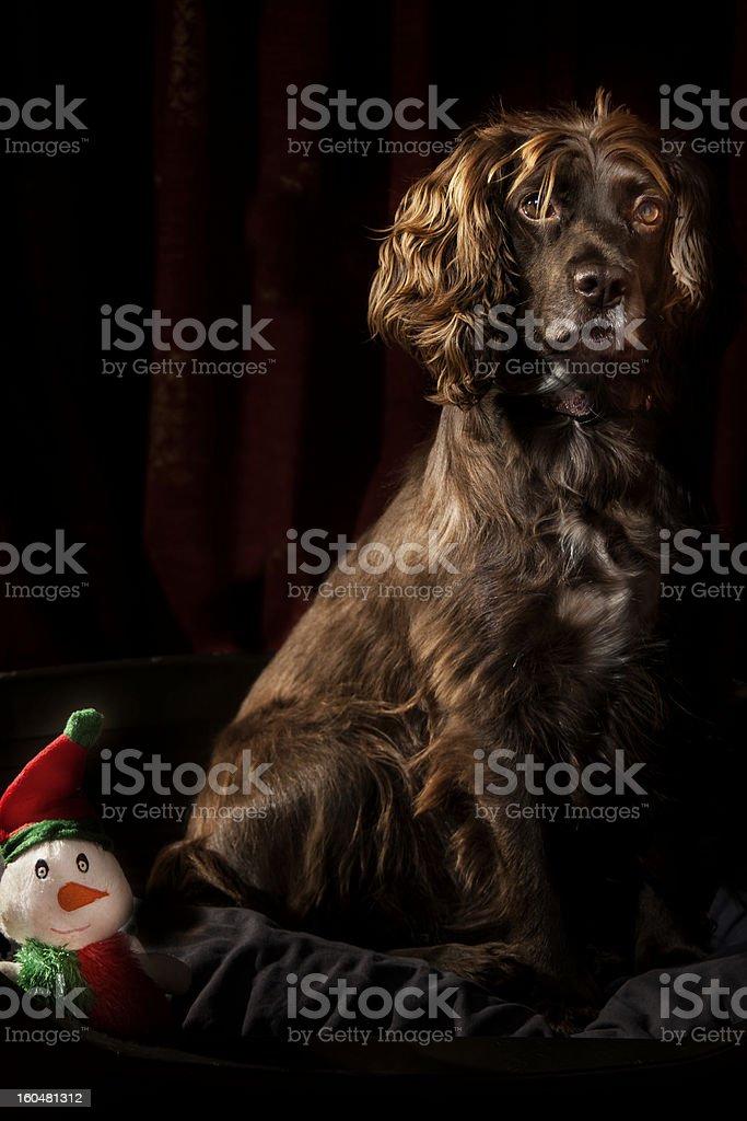 Beautiful English Spaniel royalty-free stock photo