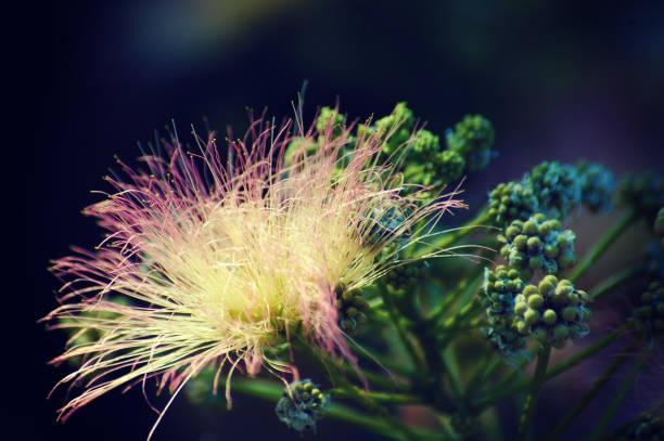 beautiful ephemeral flower of caper - foto stock
