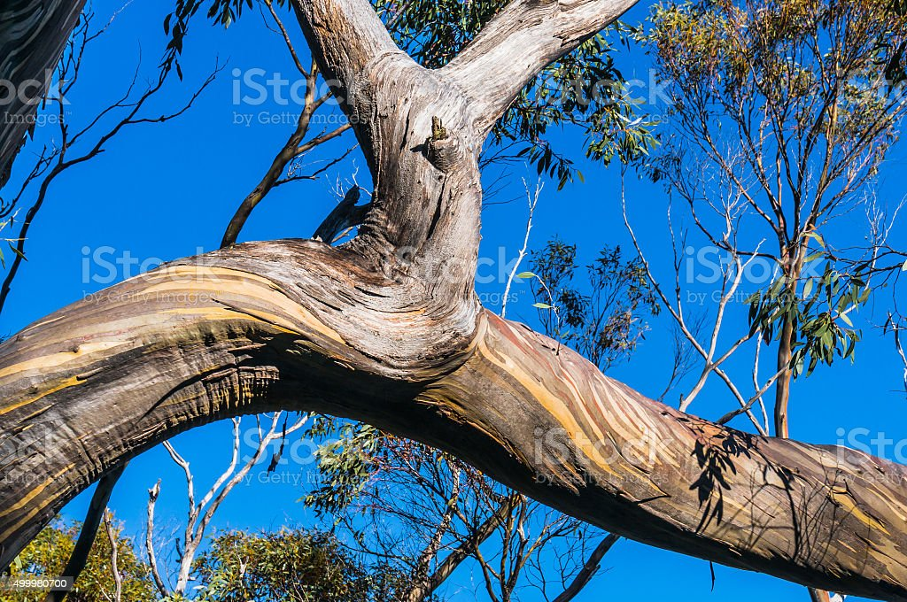 Beautiful Eucalyptus tree trunks against blue sky stock photo