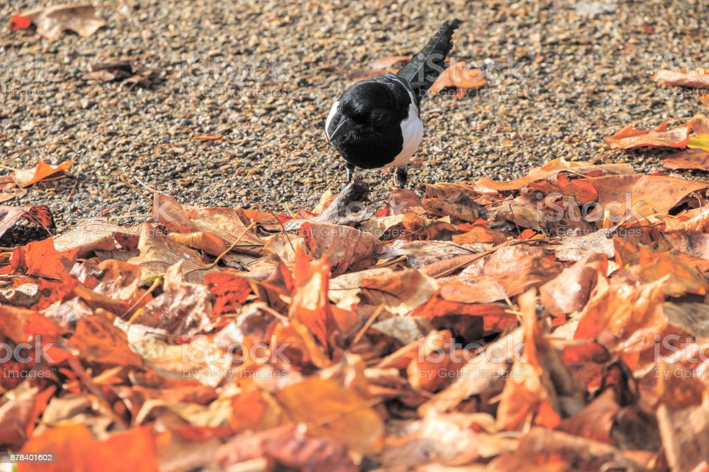 Beautiful Eurasian magpie bird searching for food amid pile of fallen leaves in Regent's Park of London stock photo