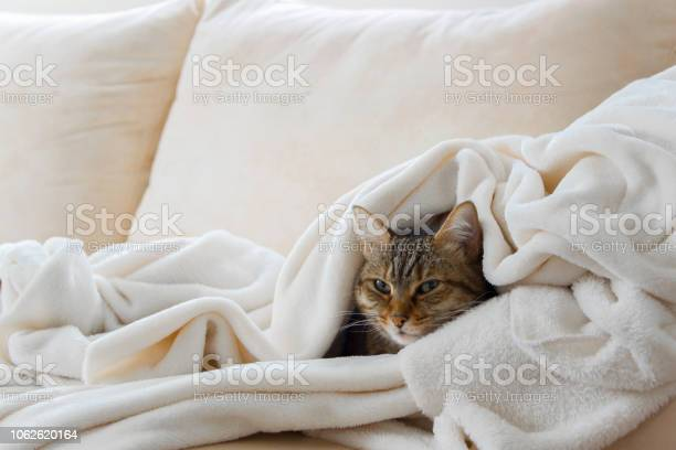 Beautiful european cat is relaxing in the soft white blanket on a picture id1062620164?b=1&k=6&m=1062620164&s=612x612&h=wyryzsu3gnkufidulotnjb4v6t xr7ti  cbtbqpixi=