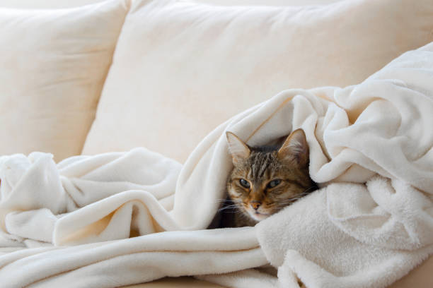 Beautiful european cat is relaxing in the soft white blanket on a picture id1062620164?b=1&k=6&m=1062620164&s=612x612&w=0&h=owyh6hucldp9nqq3vyilaxuam9or2 uwanlqody5xce=