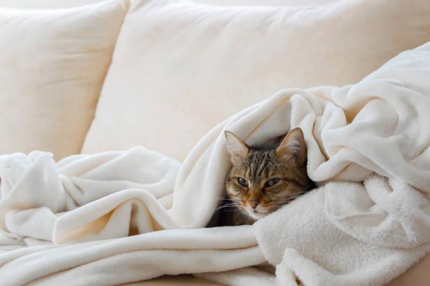 vackra europeiska katt är avkopplande i det mjuka vita täcket på en soffa - katt inomhus bildbanksfoton och bilder