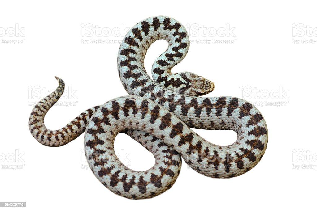 beautiful european common crossed viper stock photo
