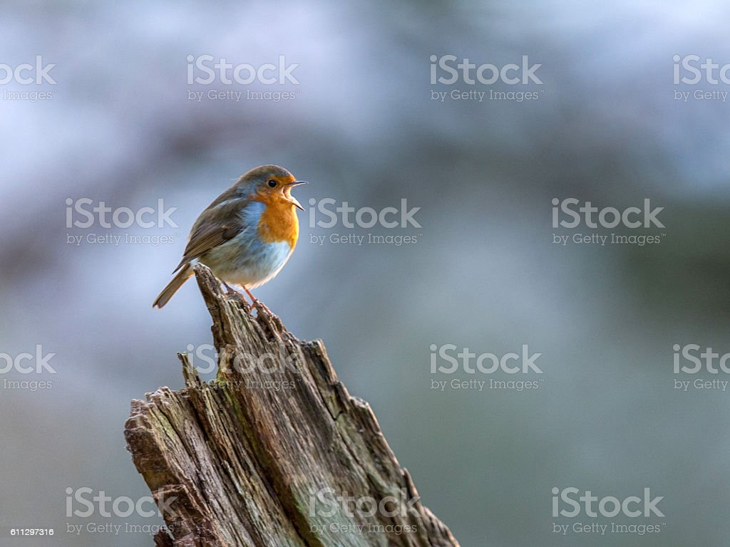 Beautiful European Robin singing stock photo