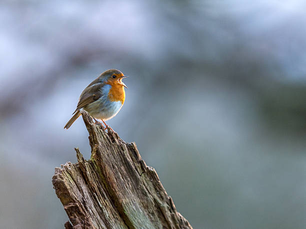 Beautiful European Robin singing – Foto