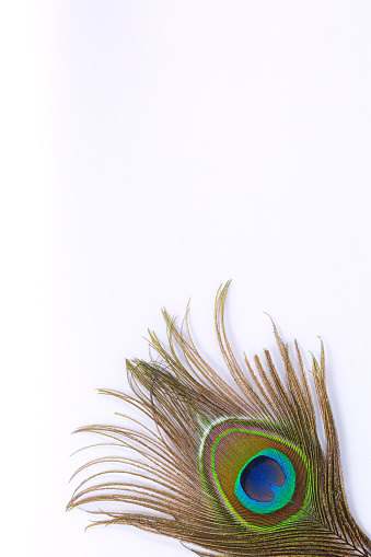 Peacock plume isolated on white close-up