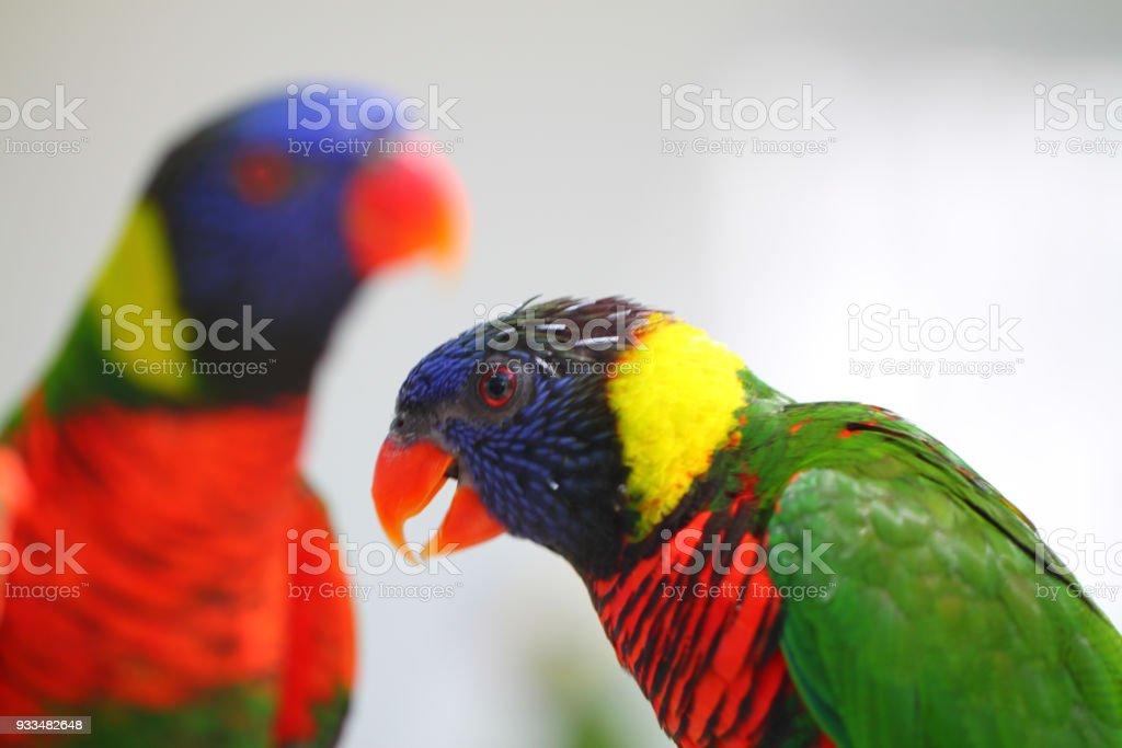 Um lindo papagaios de arara colorida dois exóticos - foto de acervo