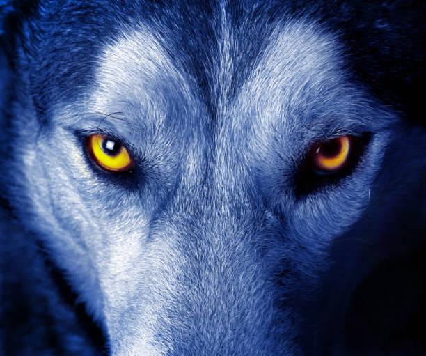 vackra ögon av en vild varg - varg bildbanksfoton och bilder