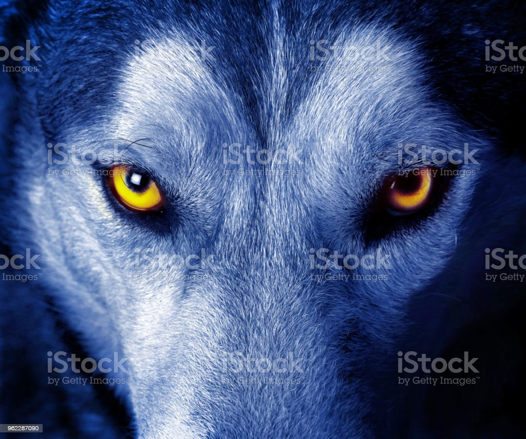 Beautiful eyes of a wild wolf stock photo
