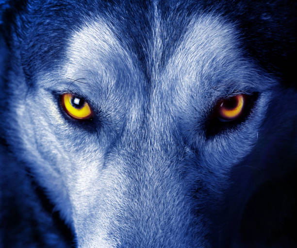 beautiful eyes of a wild wolf - lupo foto e immagini stock