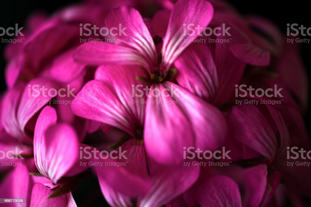 Beautiful fairy dreamy magic pink purple flowers on faded blurry background foto stock royalty-free