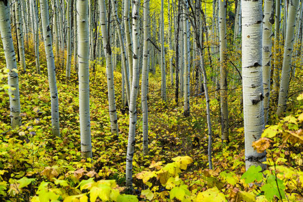 Beautiful Fall Autumn Aspen Forest Beautiful Fall Autumn Aspen Forest - Scenic nature image of pristine mountain forest with fall colors. minturn colorado stock pictures, royalty-free photos & images