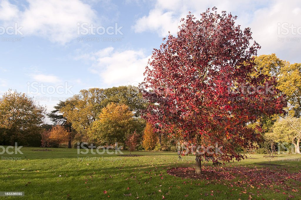 Beautiful fall day landscape with large sweetgum tree royalty-free stock photo